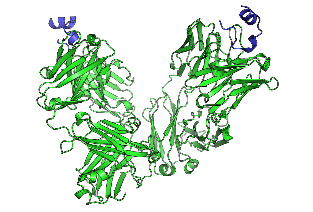 Peptide_bound_to_Rituximab_FAB